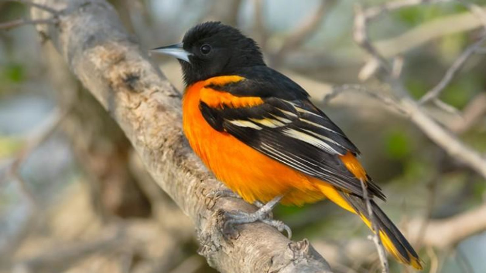 Large baltimore oriole on a branch