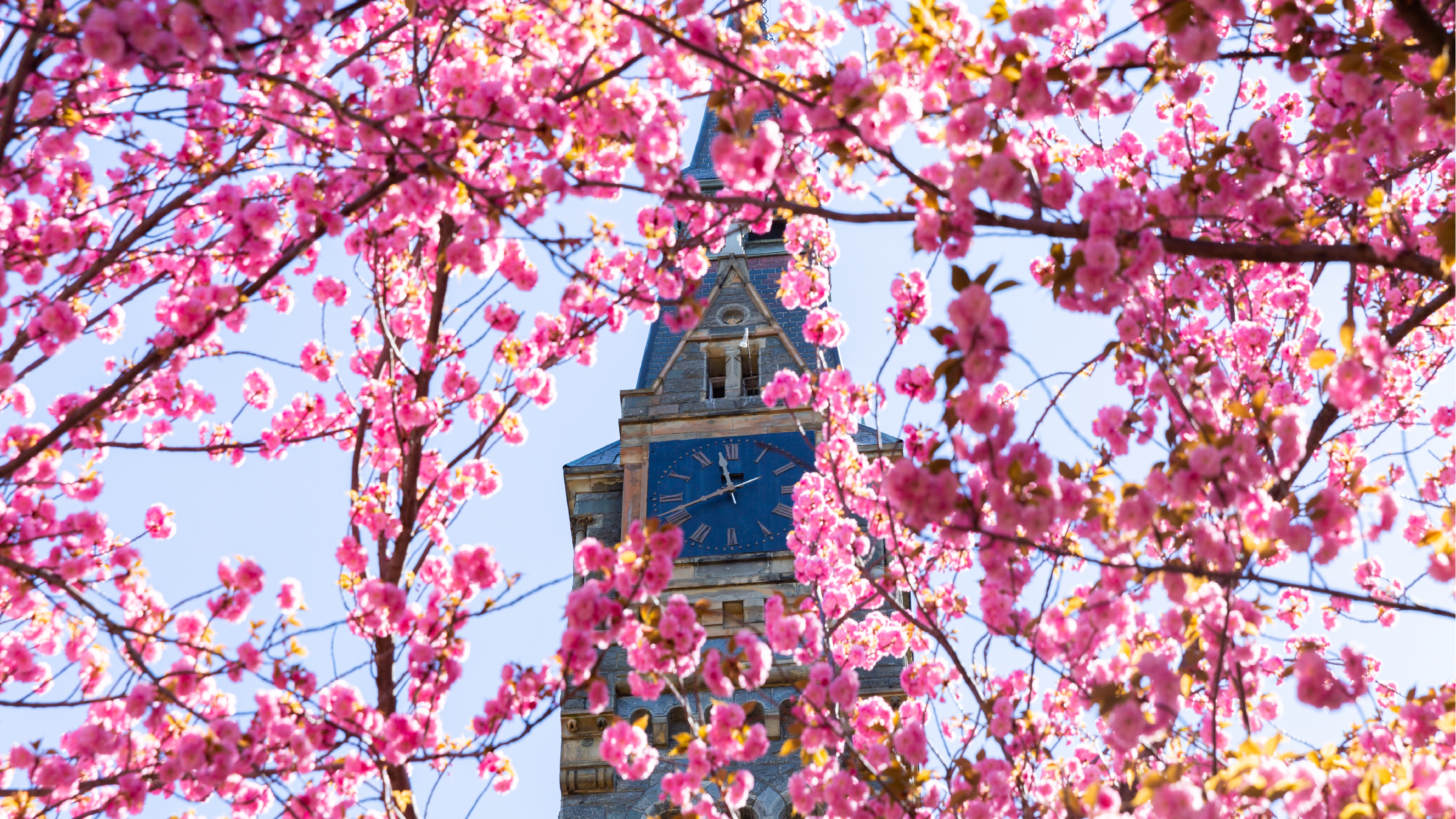 Photo of Healy clock tower covered with pink blossoms