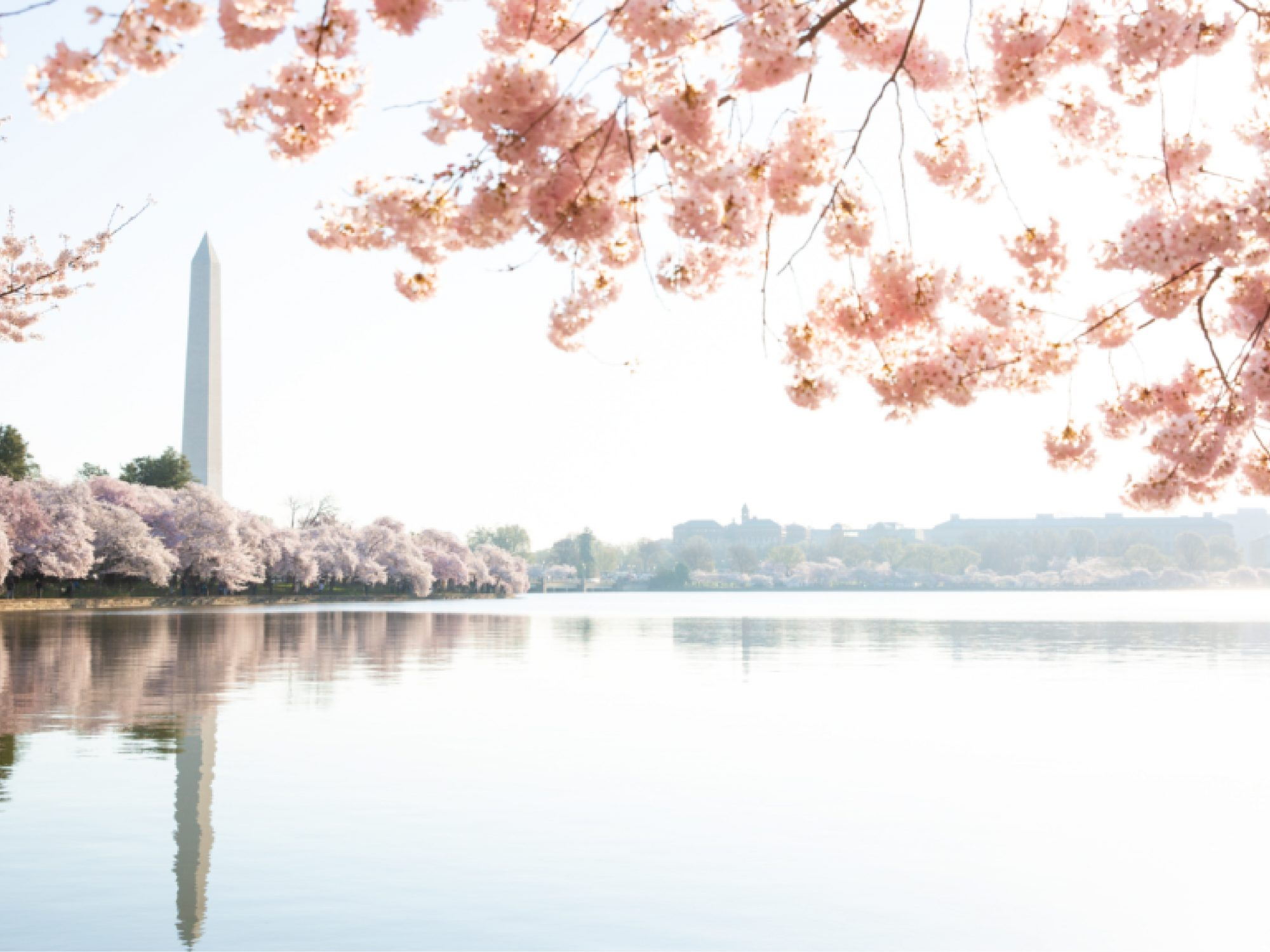 Photo of the Washington Monument taken during the cherry blossom festival