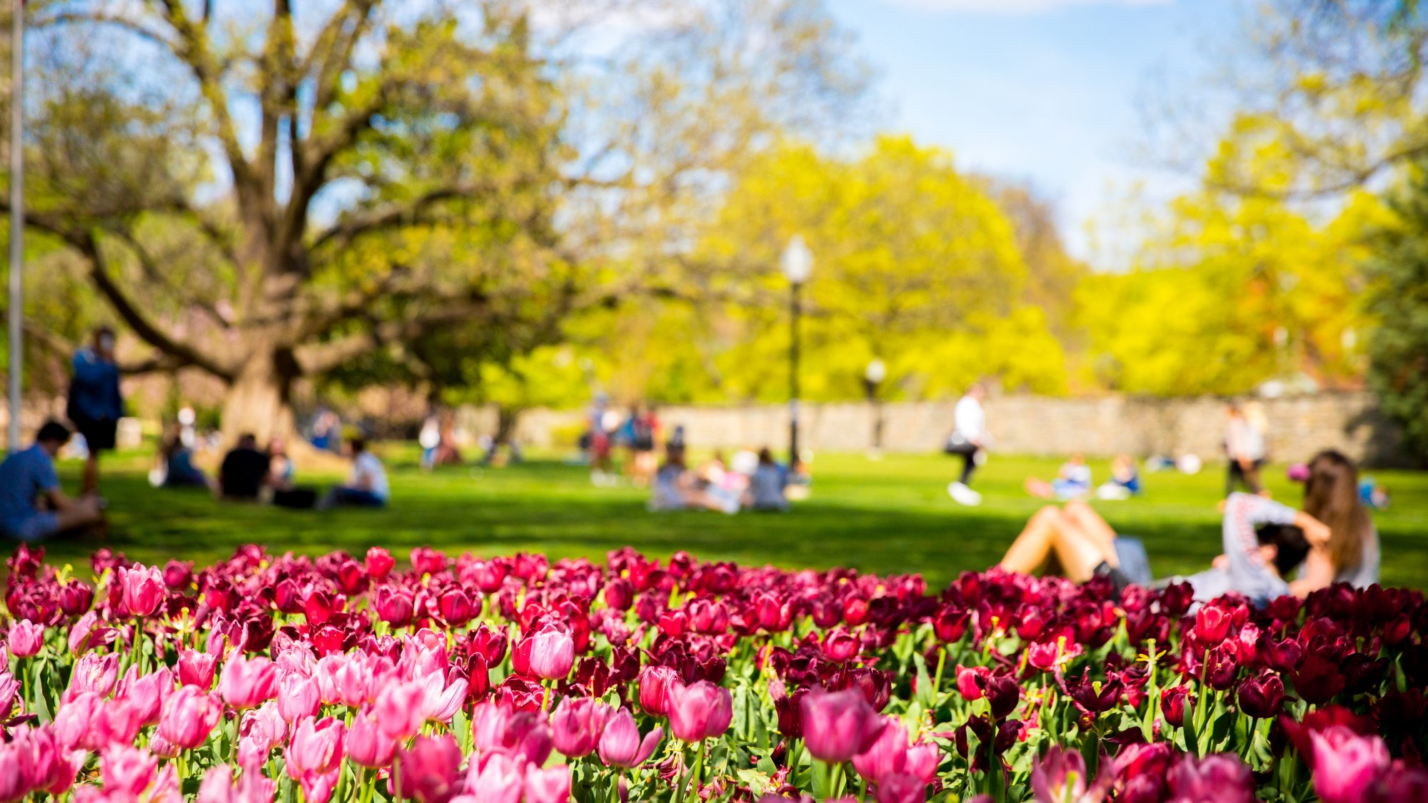 Campus in the spring with tulips in the forefront